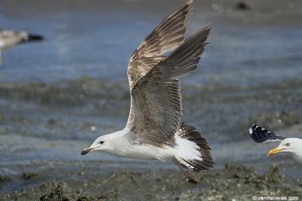 2nd-Calendar year Lesser Black-backed Gull, Noordwijk aan Zee, The Netherlands, 15 June 2013.