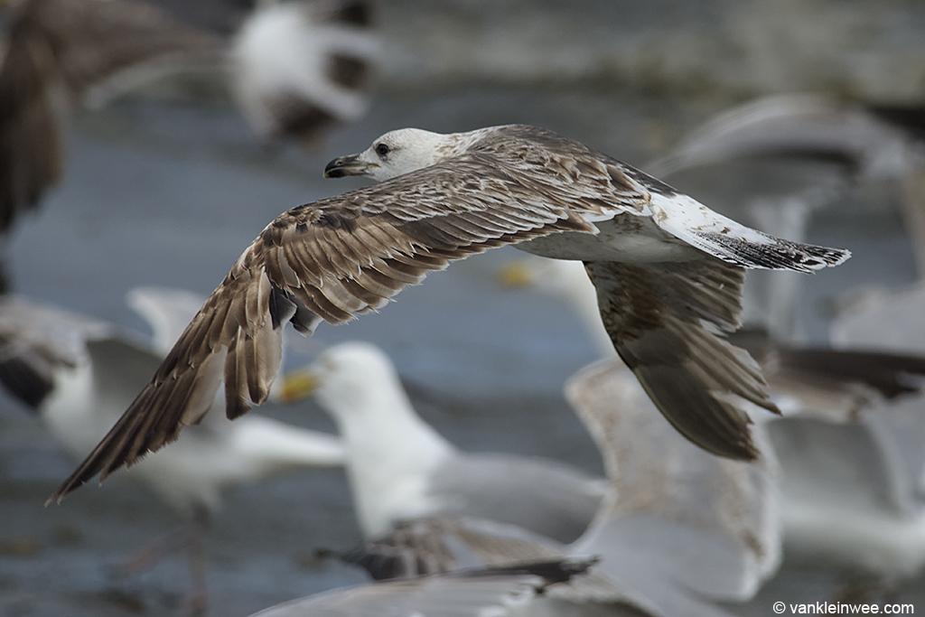 2nd-Calendar year Lesser Black-backed Gull, Noordwijk, The Netherlands, 15 June 2013.