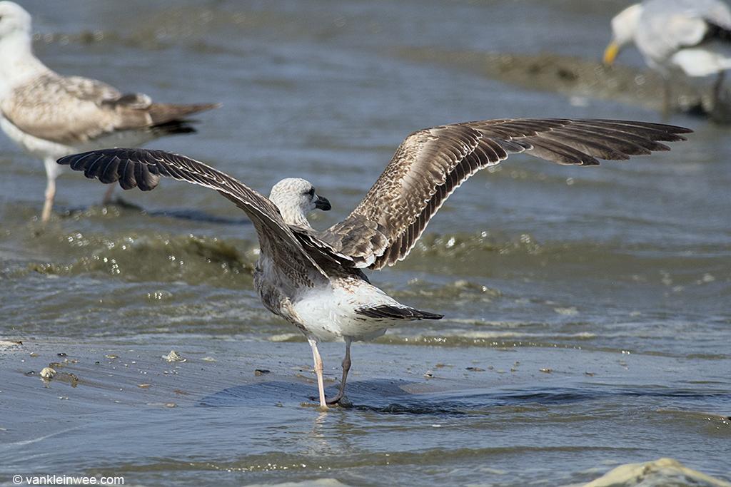 2nd-Calendar year Lesser Black-backed Gull, Noordwijk, The Netherlands, 14 June 2013.