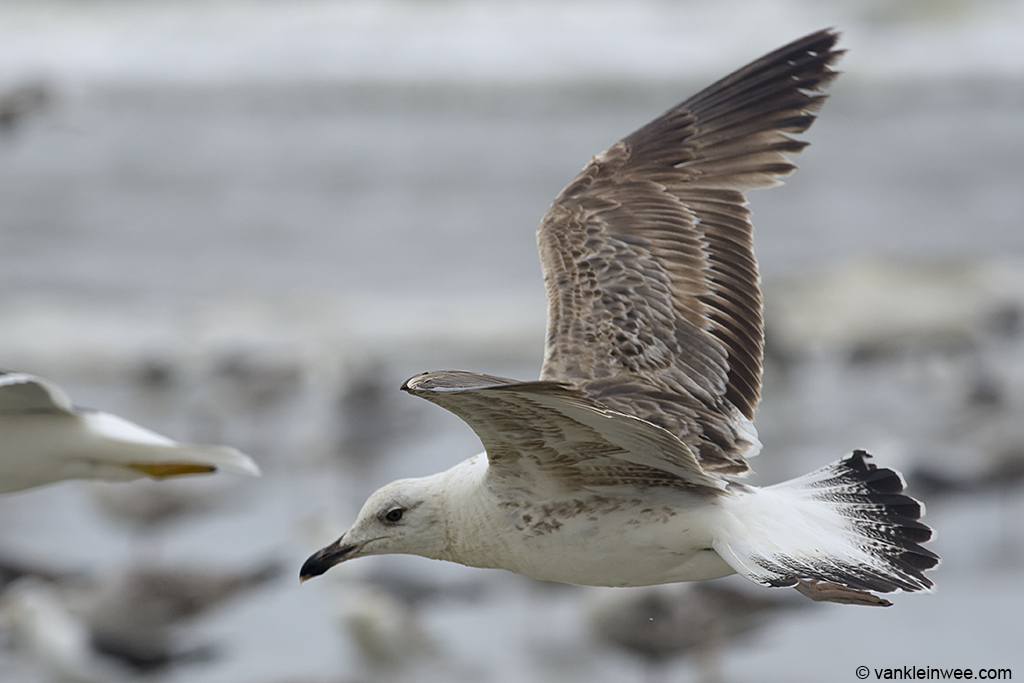 2nd-Calendar year Lesser Black-backed Gull, Noordwijk aan Zee, The Netherlands, 22 June 2013.