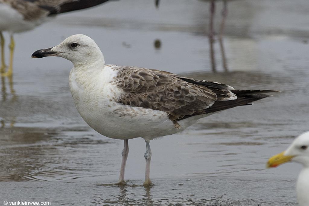 2nd-Calendar year Lesser Black-backed Gull, Noordwijk aan Zee, The Netherlands, 22 June 2013.
