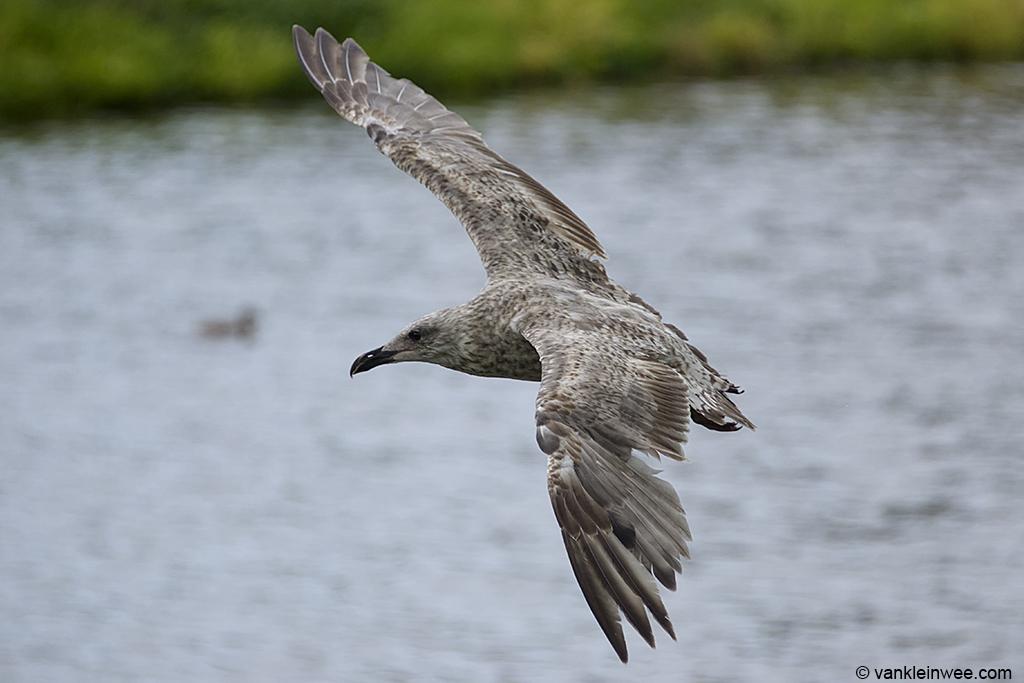 Second-calendar year European Herring Gull Green 5.8. Leiden, The  Netherlands, 30 July 2013.