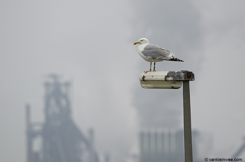 Classic IJmuiden harbour: European Herring Gull Green Y.BAX on his favorite lamp post against the backdrop of the heavy industry of IJmuiden. 14 July 2013.