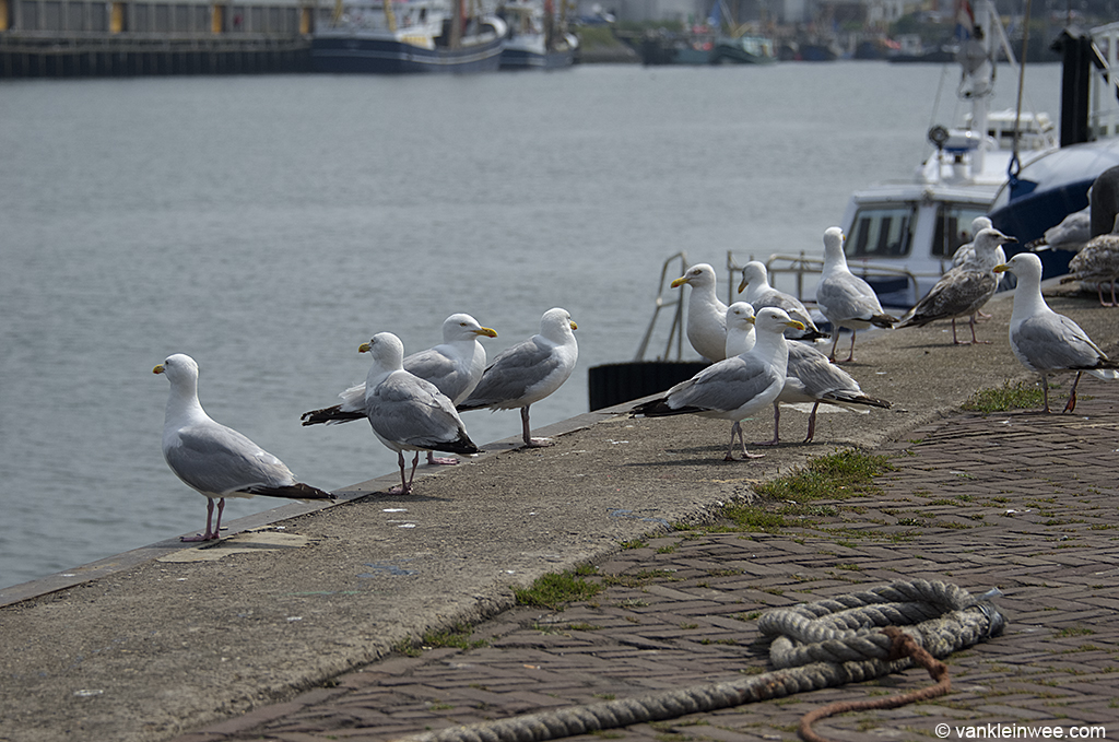 European Herring Gulls congregating on the quays. IJmuiden, 14 July 2013.