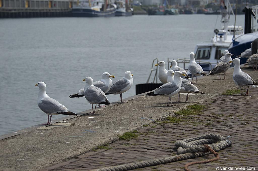 European Herring Gulls congregating on the quays. IJmuiden, 14 July 2013.