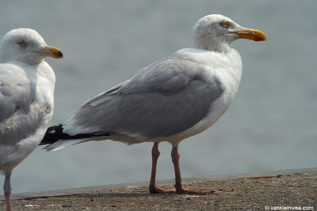 Adult European Herring Gull with bare patches on the head. It was ringed as an adult in 2010 so unfortunately we don't know it's exact age. IJmuiden, 14 July 2013.