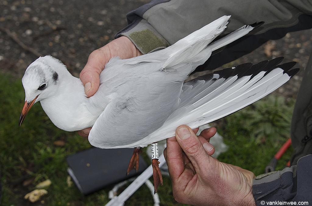 Black-headed Gull White EJA9. 24 December 2012, Leiden, The Netherlands.