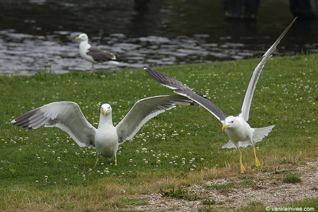 Not one to befriend easily: Yellow H.501 does not tolerate other gulls to be nearby very much. Leiden, The Netherlands, 28 July 2013.