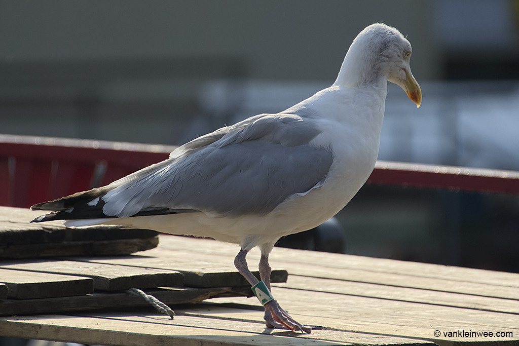 European Herring Gull, (Black D)/Green A, Leiden, The Netherlands, 6 July 2013. At this time of year a bare patch can be seen in his right neck, thereby clearly showing his age.