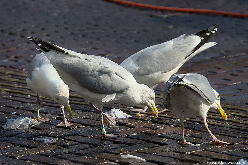 European Herring Gull, (Black D)/Green A, Leiden, The Netherlands, 6 July 2013, looking for left overs with other Herring Gulls.