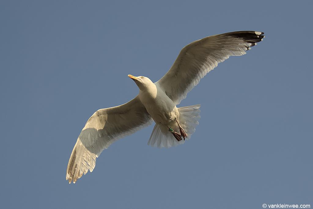 European Herring Gull, (Black D)/Green A, Leiden, The Netherlands, 6 July 2013.