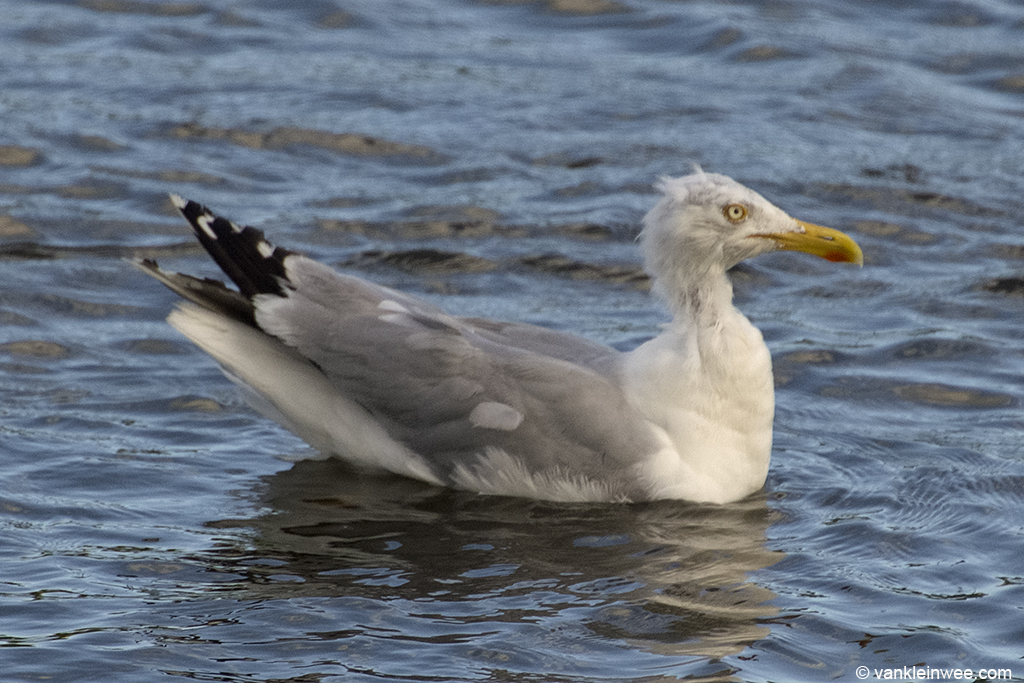 Adult European Herring Gull with bare patches on the head. Leiden, 3 August 2013.