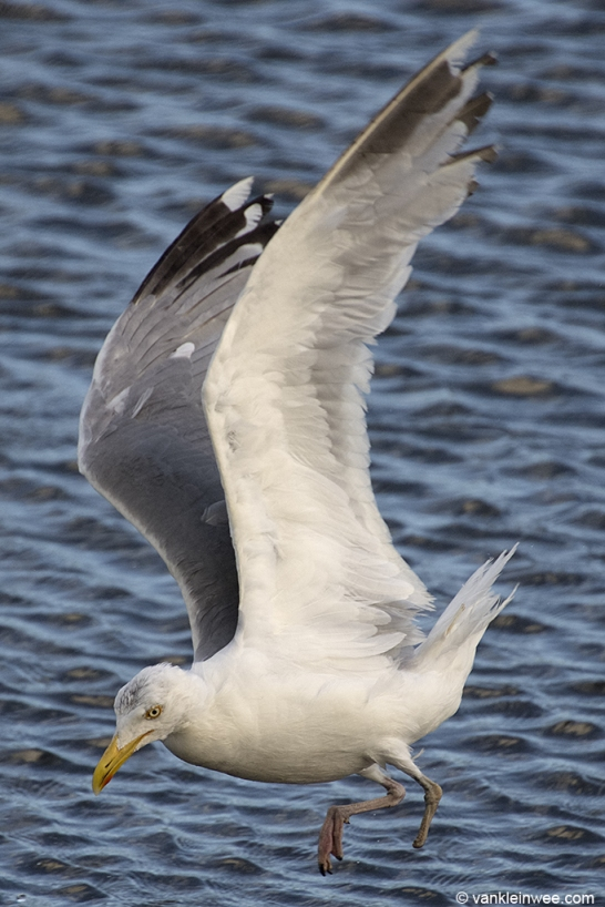 Adult European Herring Gull with a Thayeri pattern on P9 and a missing left foot. Leiden, 3 August 2013.