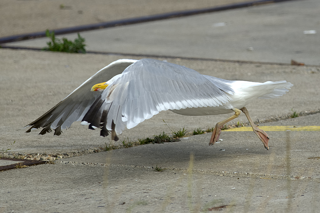 5th-calendar year-type Herring Gull distinctive yellow legs. IJmuiden, The Netherlands, 11 August 2013.