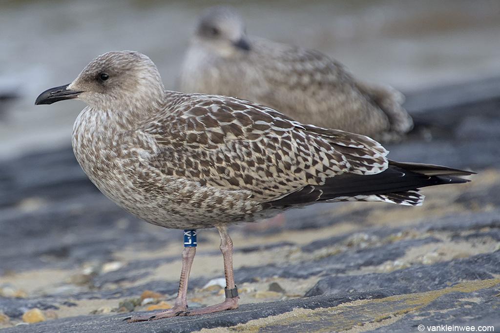 First-calendar year European Herring Gull ringed as Blue L.X. Katwijk aan Zee, The Netherlands, 9 August 2013.