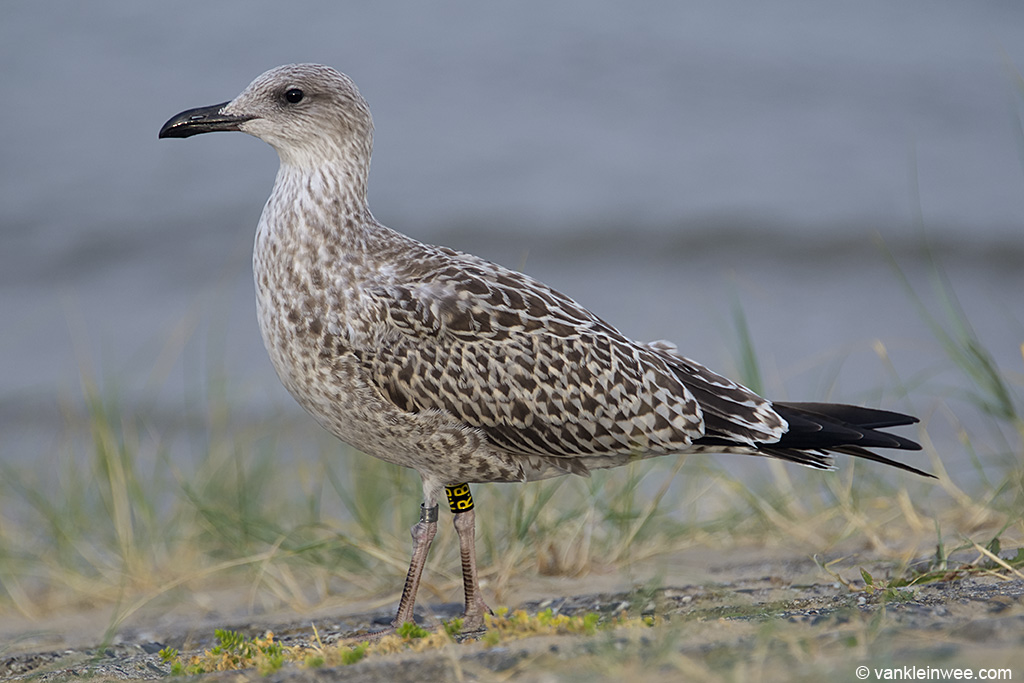 First-calendar year Lesser Black-backed Gull ringed locally as Black R.B. Katwijk aan Zee, The Netherlands, 9 August 2013.