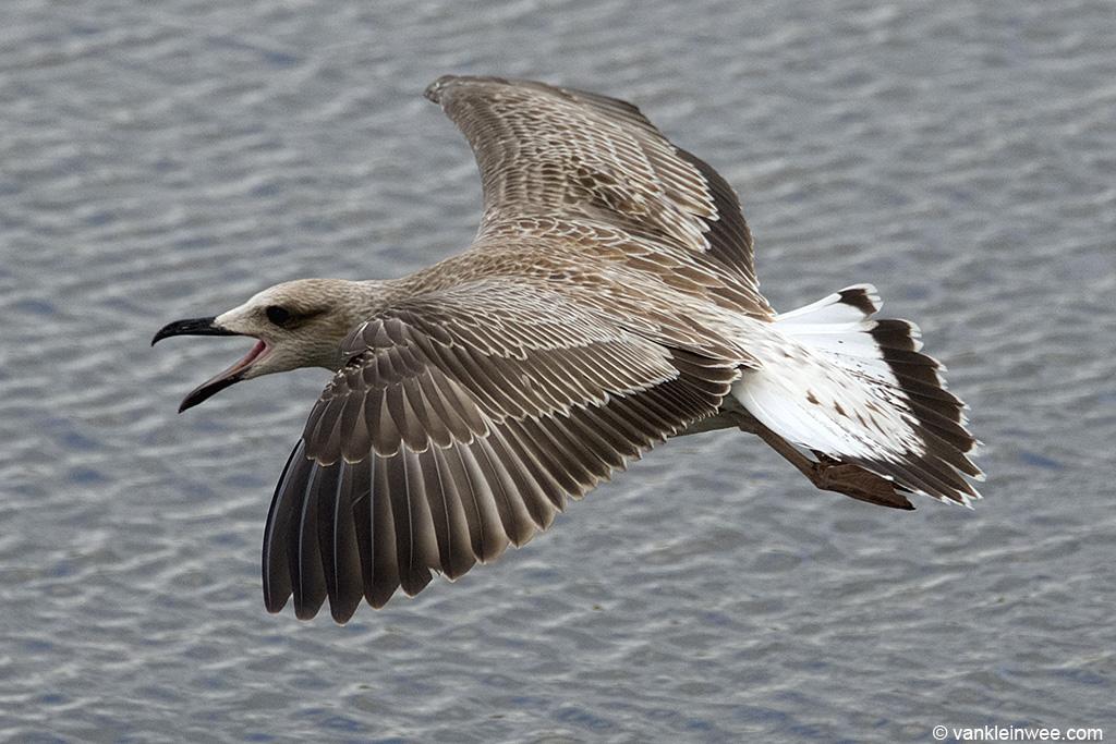 1st-calendar year Caspian Gull. Leiden, The Netherlands, 10 August 2013.
