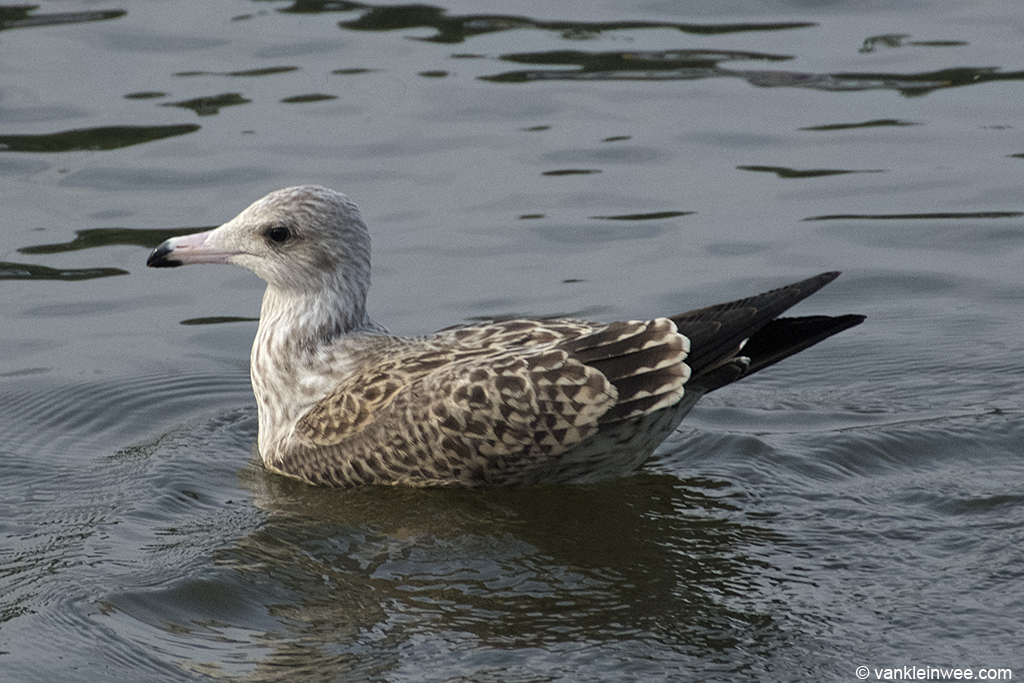 #2. 1st-calendar year Lesser Black-backed Gull with pink bill. Leiden, The Netherlands, 23 August 2013.