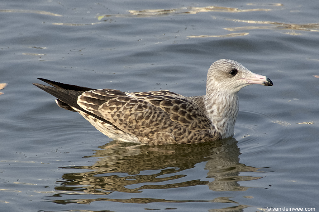 #1. 1st-calendar year Lesser Black-backed Gull with pink bill. Leiden, The Netherlands, 23 August 2013.