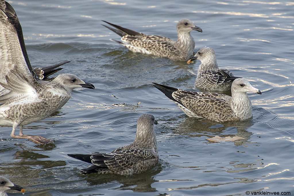 #7. Together with regular Lesser Black-backed  Gulls. Leiden, The Netherlands, 23 August 2013.