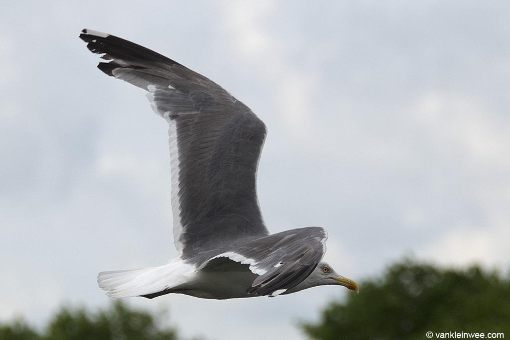 Presumed Lesser Black-backed Gull x European Herring Gull (Larus fuscus x Larus argentatus). Leiden, The Netherlands, 10 August 2013.