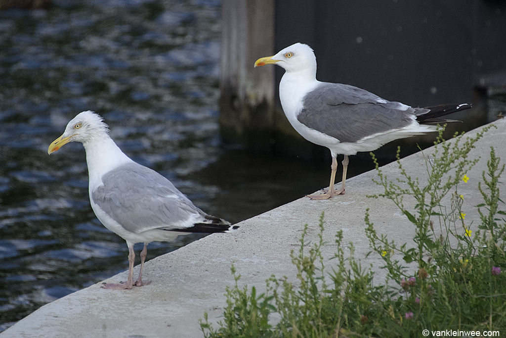 Presumed Lesser Black-backed Gull x European Herring Gull (right) with European Herring Gull (left). Leiden, The Netherlands, 10 August 2013.