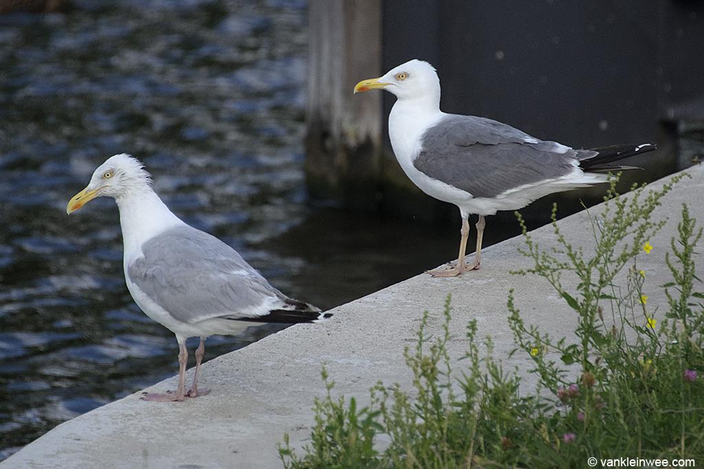 Presumed Lesser Black-backed Gull x European Herring Gull (right) with European Herring Gull (left). Leiden, The Netherlands, 10 August 2013.