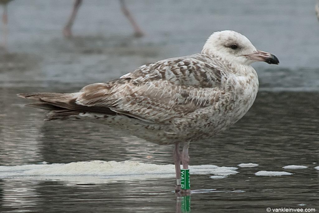 2nd-calendar year European Herring Gull Larus argentatus, locally ringed as Green Y.ALB. Wijk aan Zee beach, The Netherlands, 13 June 2010.