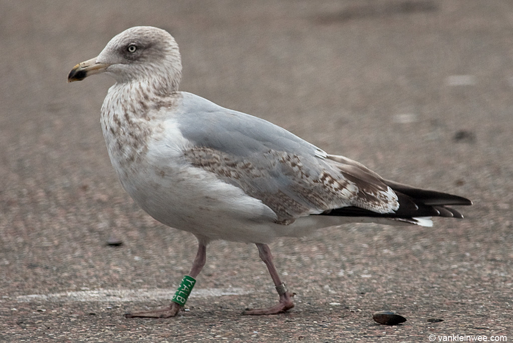 3rd-calendar year European Herring Gull Larus argentatus, locally ringed as Green Y.ALB. IJmuiden, The Netherlands, 30 October 2011.