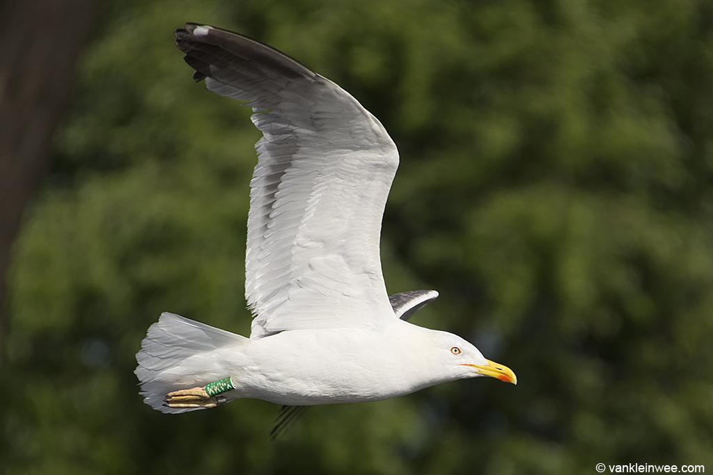 4th-calendar year Lesser Black-backed Gull ringed as Green Y.AMM. Leiden, 13 August 2013.