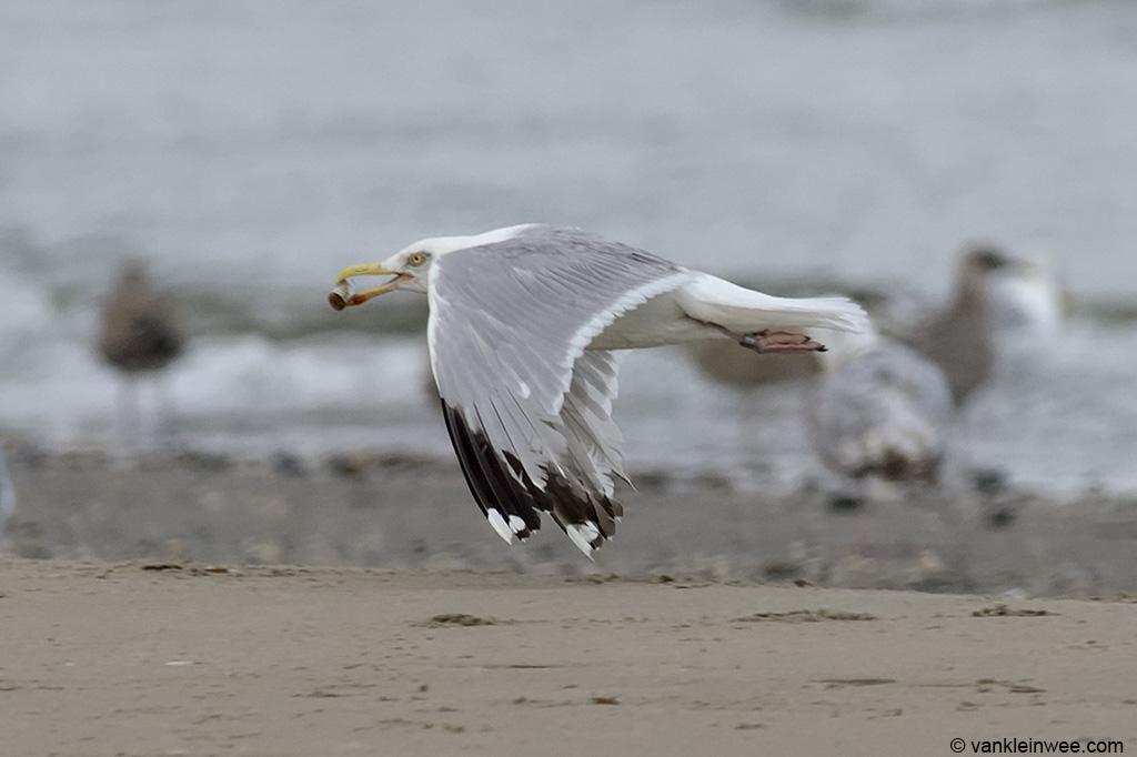 European Herring Gull Larus argentatus, locally ringed as Green Y.BHL. Wijk aan Zee beach, The Netherlands, 11 August 2013.