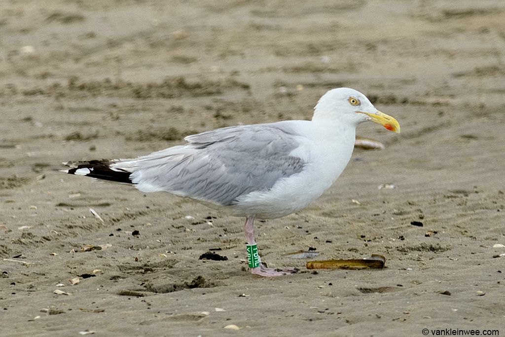 European Herring Gull Larus argentatus, locally ringed as Green Y.BHL. Wijk aan Zee beach, The Netherlands, 11 August 2013.