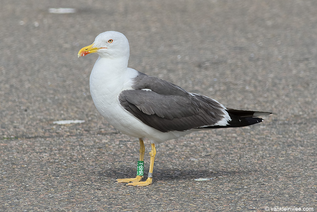 Adult Lesser Black-backed Gull Larus fuscus, locally ringed as Green Y.BHR. IJmuiden, 11 August 2013.