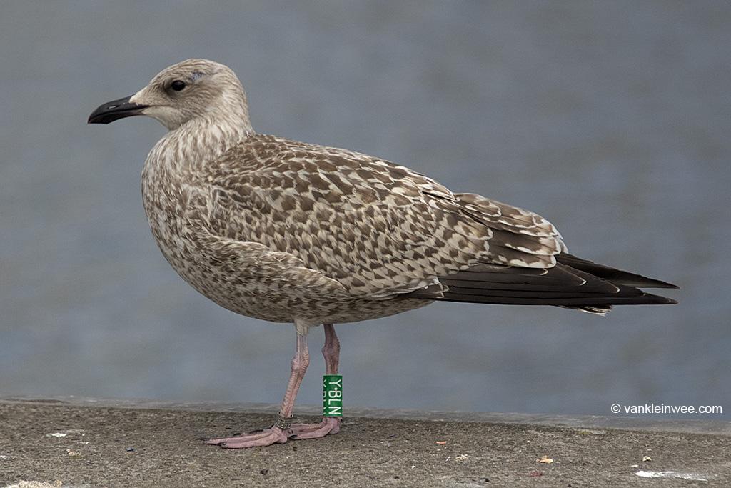 First-calendar year European Herring Gull Larus argentatus, locally ringed as Green Y.BLN. IJmuiden, The Netherlands, 11 August 2013.