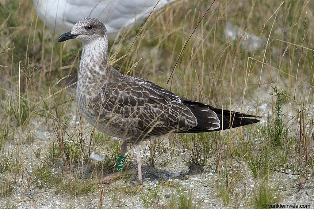 First-calendar year Lesser Black-backed Gull Larus fuscus, locally ringed as Green Y.BLS IJmuiden, The Netherlands, 11 August 2013.