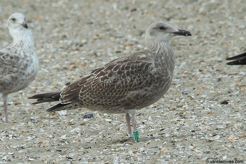 Locally-ringed first-calendar year European Herring Gull Larus argentatus. Wijk aan Zee beach, The Netherlands, 11 August 2013.