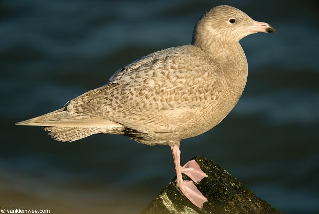 Scheveningen, south pier, The Netherlands, December 26, 2008. First-calendar year Glaucous Gull in first-winter (first alternate) plumage.