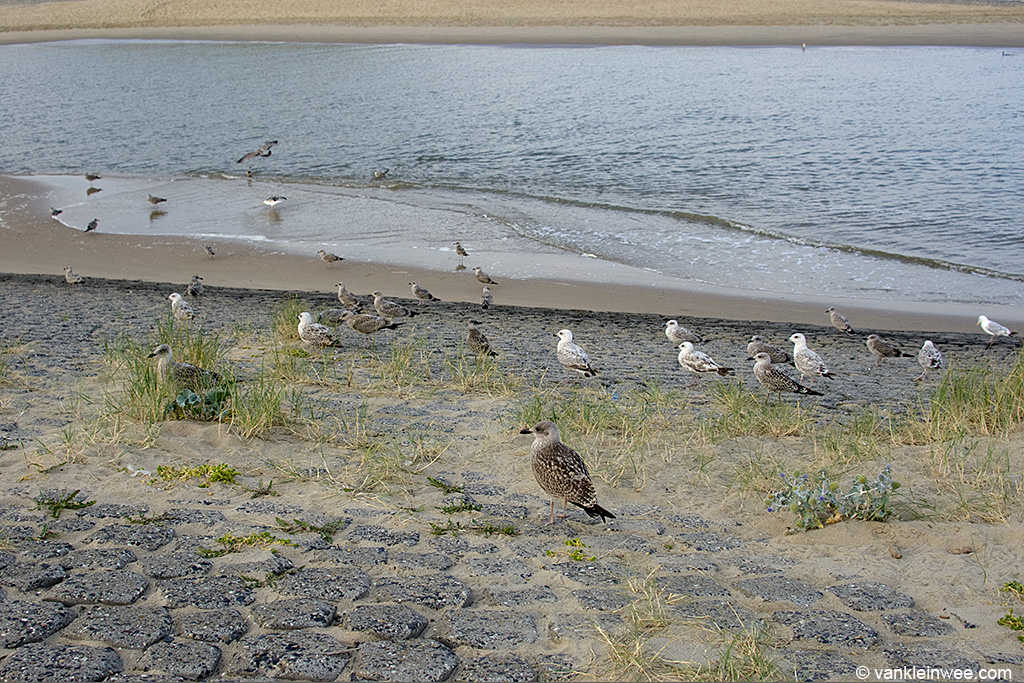 A mix of young and old European Herring Gulls and Lesser Black-backed Gulls. Katwijk aan Zee, 9 August 2013.
