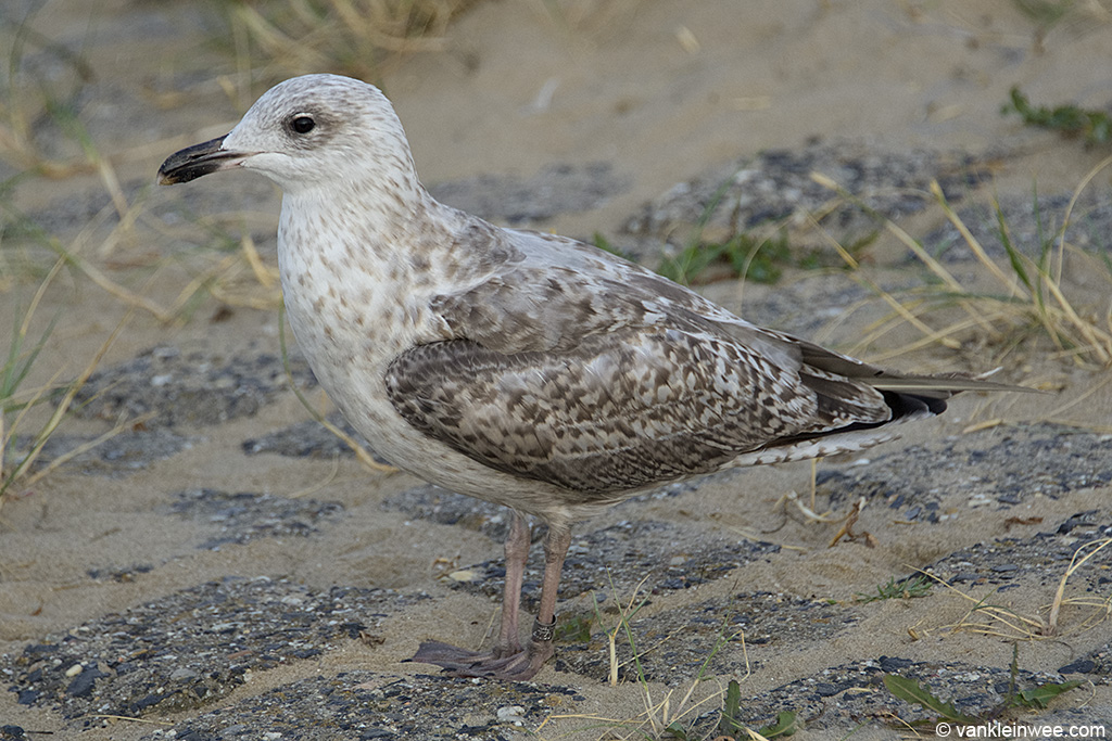Second-calendar year European Herring Gull ringed as Arnhem 6.169.883. Katwijk aan Zee, The Netherlands, 9 August 2013.