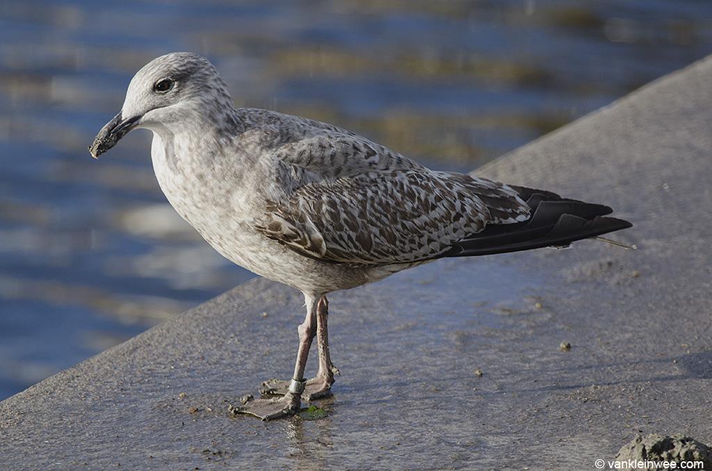 First-calendar year European Herring Gull ringed as Arnhem 6.169.883.  Leiden, The Netherlands, 2 December 2013.