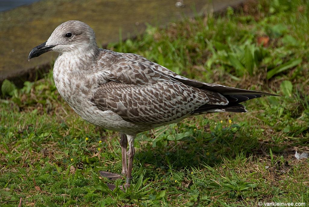 First-calendar year European Herring Gull ringed as Arnhem 6.169.883.  Leiden, The Netherlands, 18 September 2013.