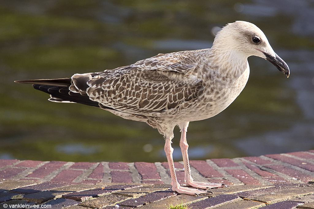 1st-calendar year Yellow-legged Gull. Leiden, The Netherlands, 3 August 2013.