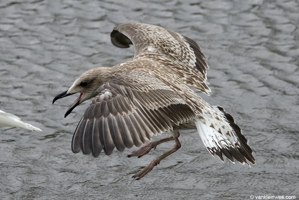 1st-calendar year Yellow-legged Gull. Leiden, The Netherlands, 10 August 2013.