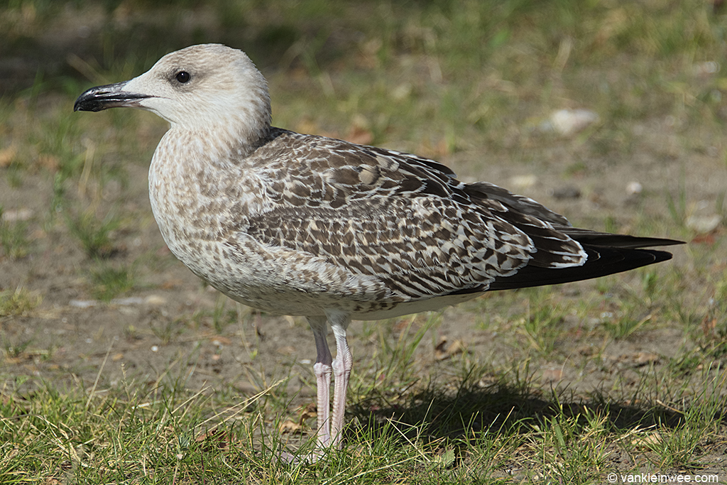 1st-calendar year Yellow-legged Gull. Leiden, The Netherlands, 13 August 2013.