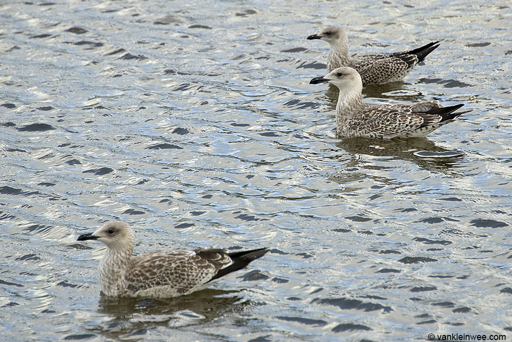 1st-calendar year Yellow-legged Gulls (front and center) with 1st-calendar year Lesser Black-backed Gull (back). Leiden, The Netherlands, 13 August 2013.