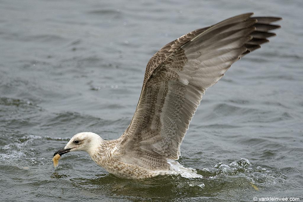 First-calendar year Yellow-legged Gull. Leiden, The Netherlands, 24 August 2013.