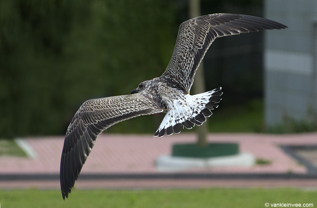 In flight, the tail looked distinctly white. Leiden, 20 August 2013.