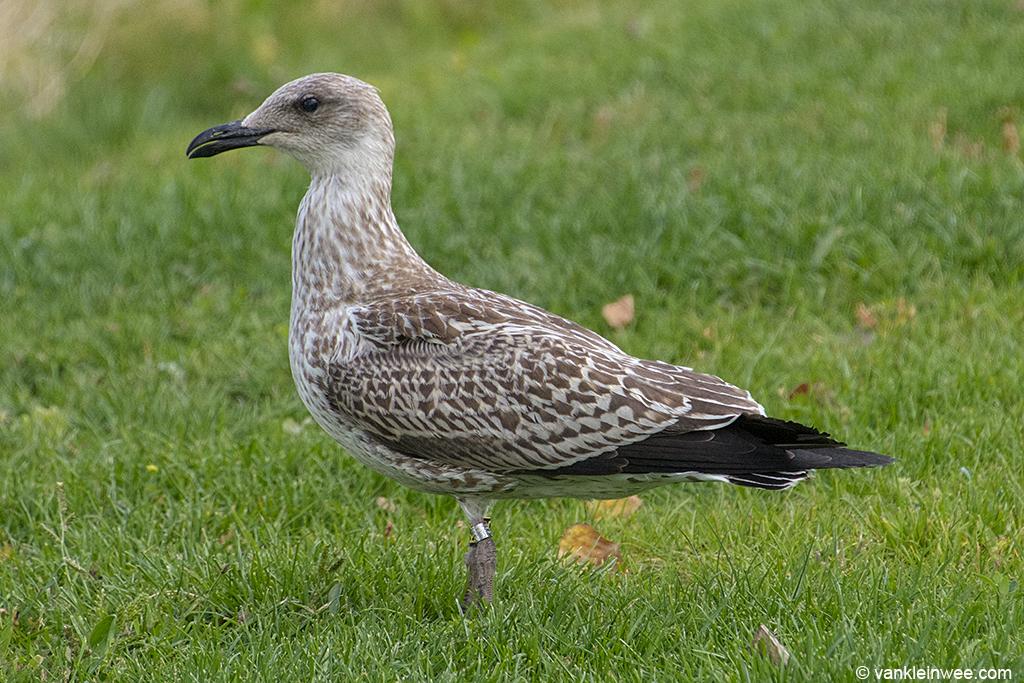 1st-Calendar year Lesser Black-backed Gull, ringed as Black R.S. Leiden, 20 August 2013.