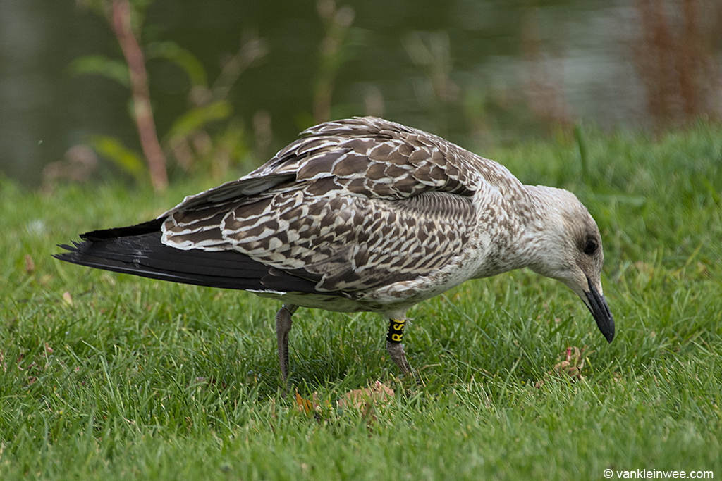 1st-Calendar year Lesser Black-backed Gull, ringed as Black R.S. Leiden, 20 August 2013.