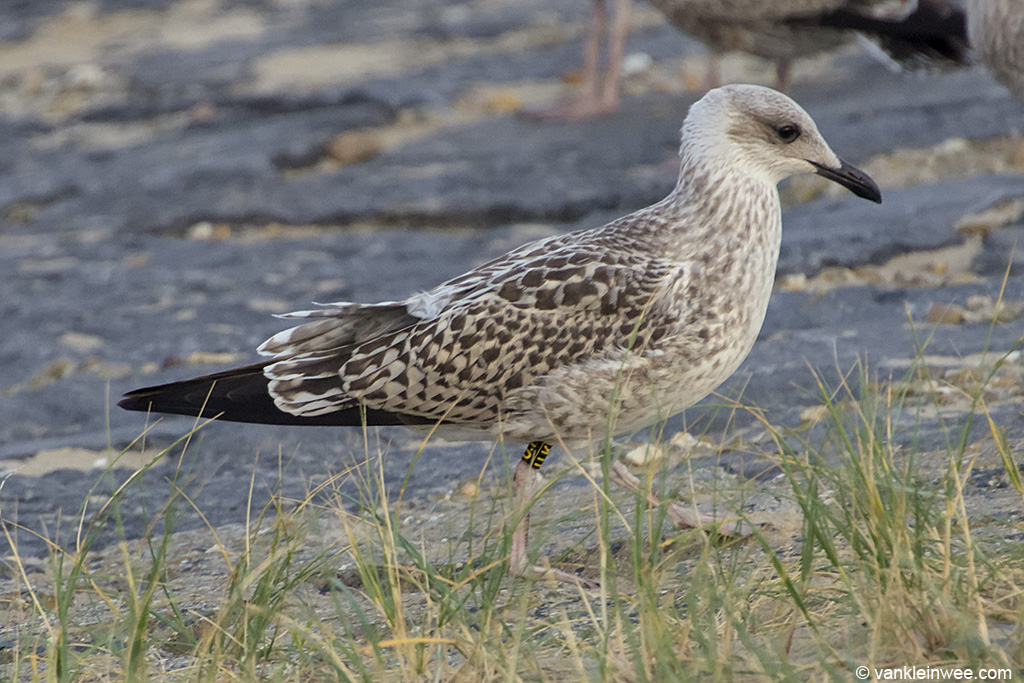 First-calendar year Lesser Black-backed Gull ringed locally as Black U.K. Katwijk aan Zee, The Netherlands, 9 August 2013.